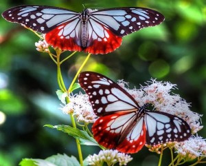 99670__two-lovely-butterflies_p (vierkant)